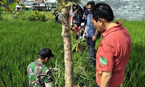 MUSNAHKAN: Danpos Koramil 0818/34 Junrejo Pelda Joko Ismanu bersama para petani melakukan pembasmian hama tikus