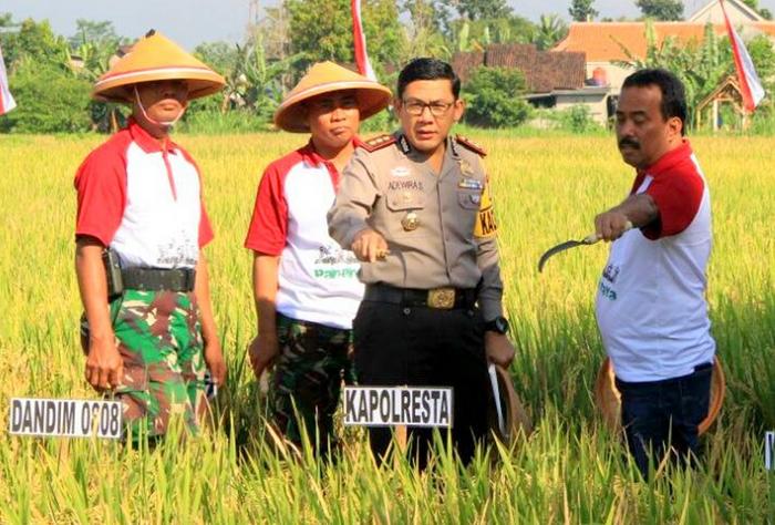Walikota Blitar Panen Raya Padi di Kelurahan Bendo