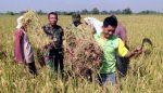 Motivasi Petani, Babinsa Mojokarang Koramil Dlanggu Dampingi Pengubinan