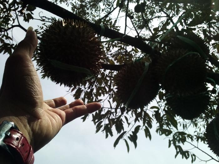 Nikmatnya Durian Bidadari Lumbang, Murah dan Bisa Langsung Dipetik di Kaki Gunung Bromo